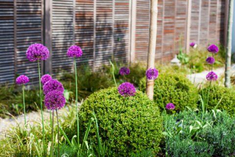 belgisch-eglischer Gartenstil Gartengestaltung Gartendetail Kiesweg Holz Sichtschutz Allium