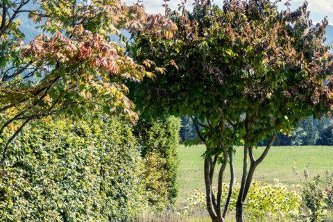 Parrotia-persica-eisenholzbaum-parcs-gartengestaltung-TITEL