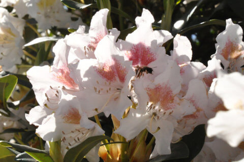Rhododendron-TITEL