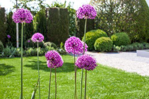 parcs-gartengestaltung-formale-gärten-zierlauch-blütenkugeln