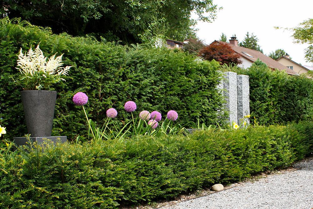 taxus-baccata-europäische-eibe-heckenpflanze-nadelgehölz-parcs-gartengestaltung-5