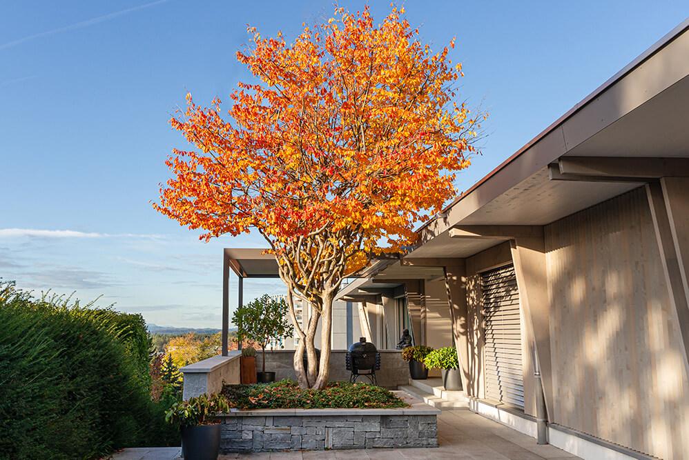 Parrotia-persica-eisenholzbaum-herbstfärbung-parcs-gartengestaltung