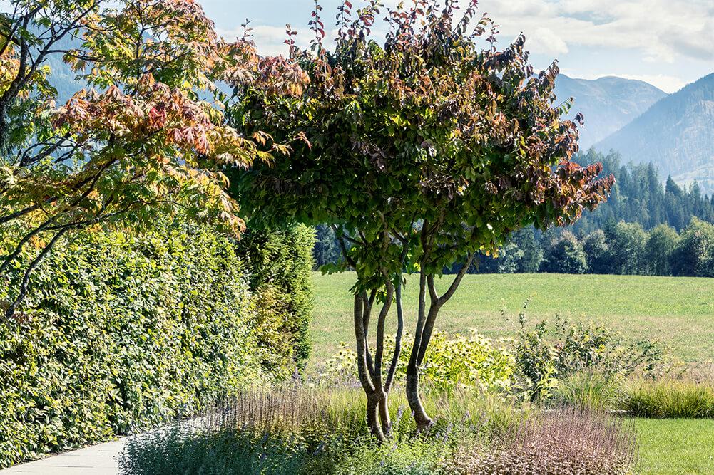 Parrotia-persica-eisenholzbaum-parcs-gartengestaltung