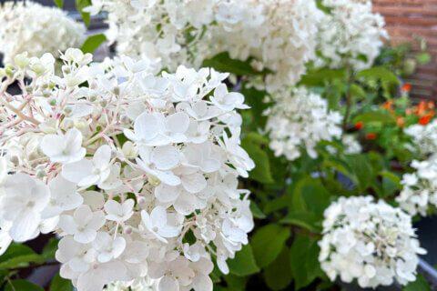 Hydrangea paniculata, Rispenhortensie, Gartengestaltung, Garten