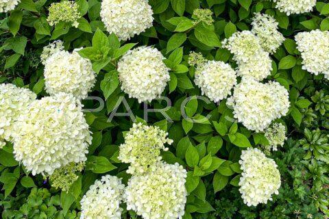 Rispenhortensie, Hydrangea paniculata, Hydrangea, Hortensie, Gartenbepflanzung, Gartenbau