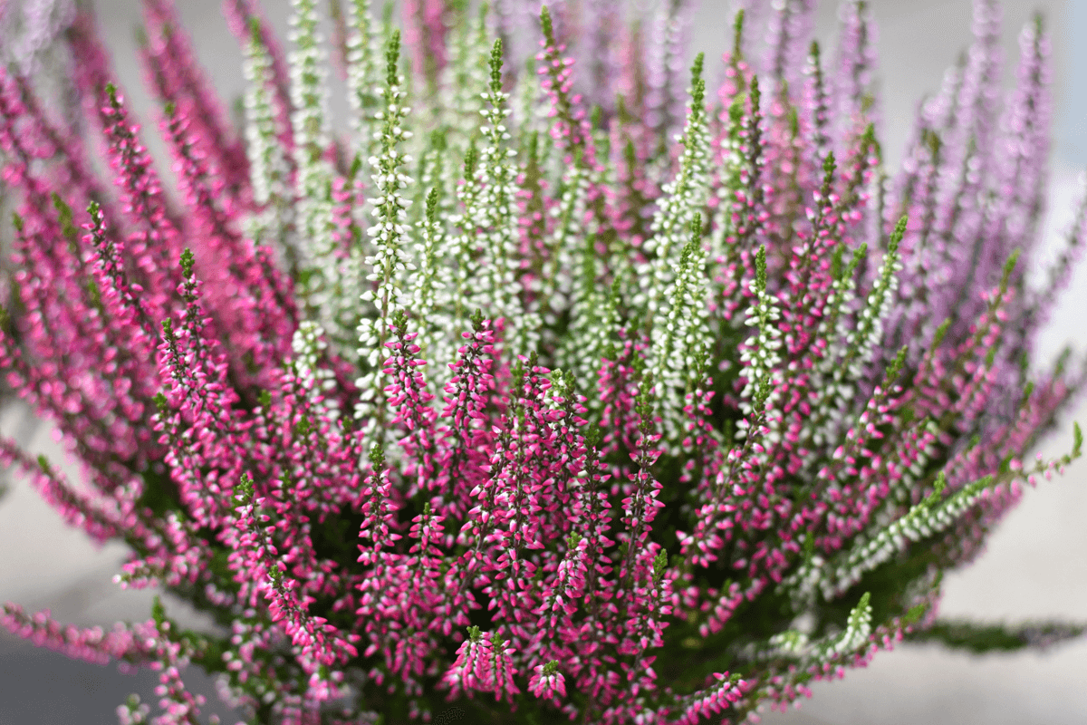 Calluna vulgaris, Besenheide, Heidekraut, Calluna, Pflanze des Monats, Herbstpflanze